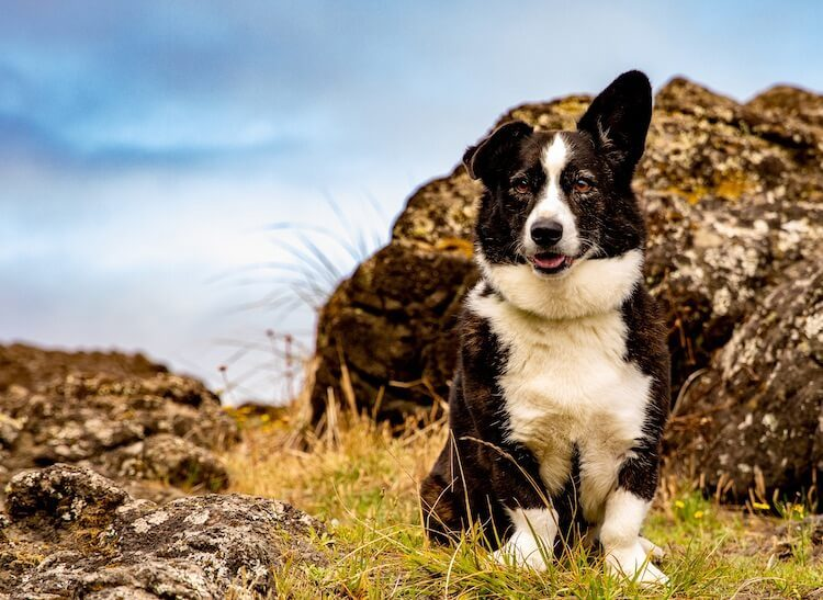 Border Collie Mix
