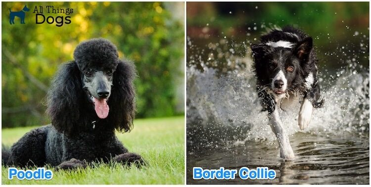 Bordoodle Border Collie Mix