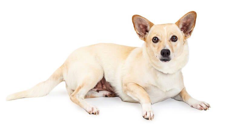 Chihuahua x Corgi Mix