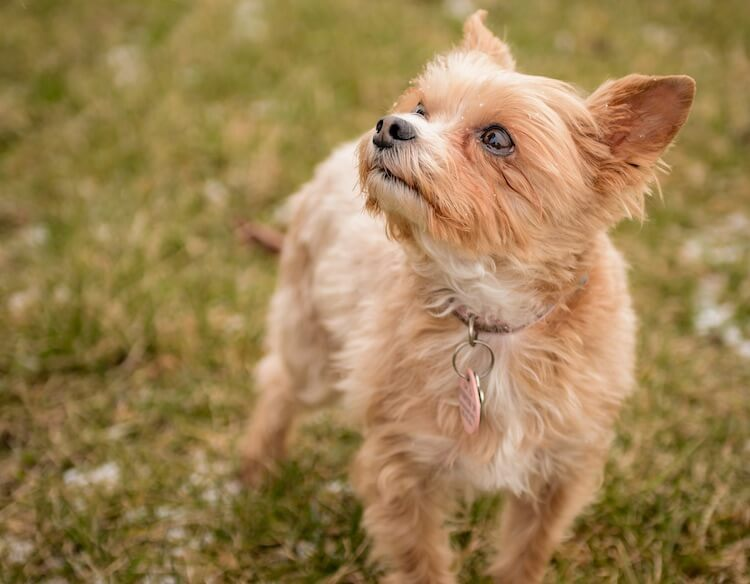 Chorkie Yorkshire Terrier Mix