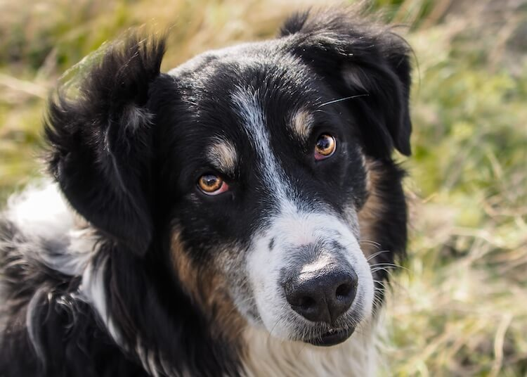 English Shepherd Face
