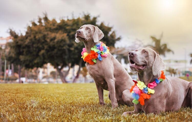 Hawaiian Dog Names for Boys