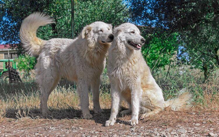 Italian Flock Guardian Dogs