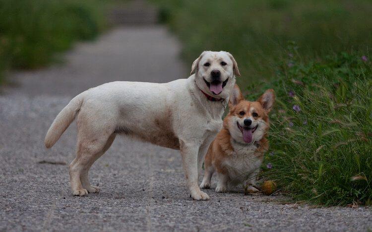 Labrador x Corgi Mix