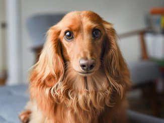 Long Haired Dachshund Feature
