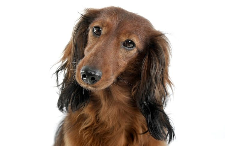 Long Haired Dachshund Portrait