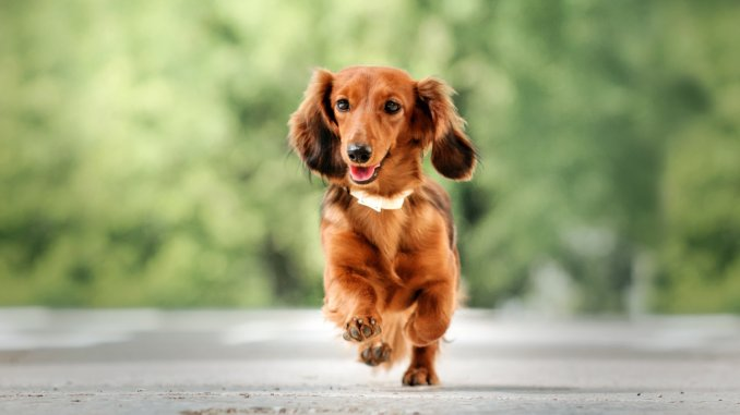 Long Haired Dachshund What To Know About This Stunning Dachshund Cover