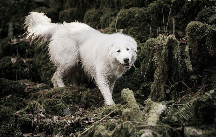 Maremma-Abruzzese Sheepdog