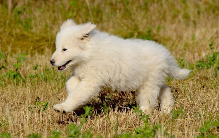 Maremma Puppy