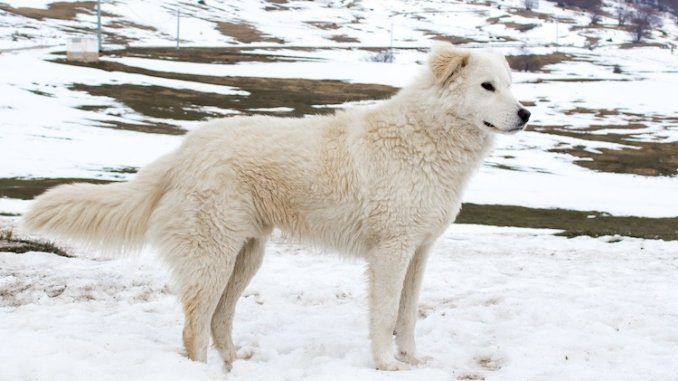 Maremma Sheepdog Feature