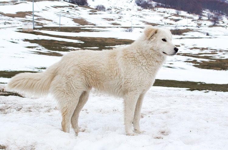Maremma Sheepdog Feature