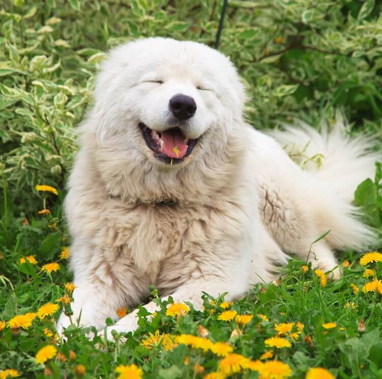 Maremma Sheepdog Portrait