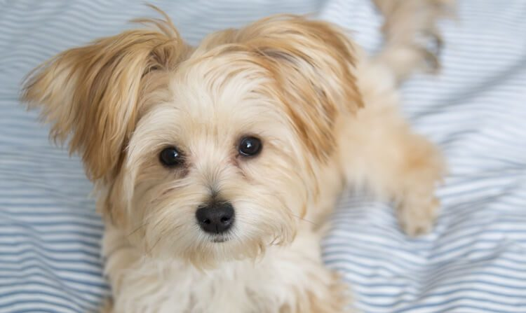 Morkie Yorkshire Terrier Mix