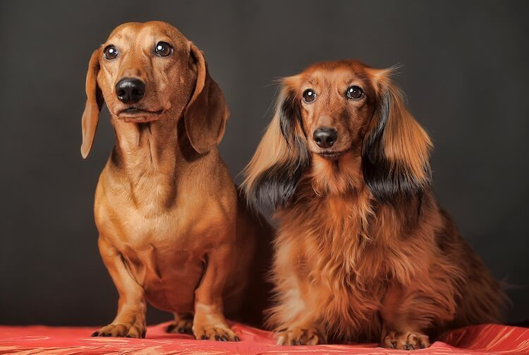 Pair Of Long Haired Dachshunds