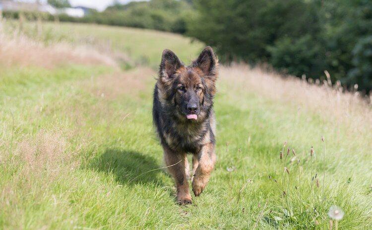 Sable German Shepherd Dog