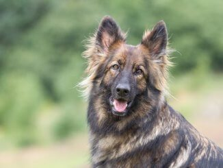 Sable German Shepherd Feature