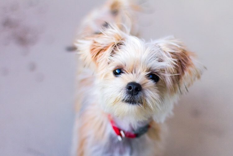 Shih Tzu x Yorkshire Terrier Mix