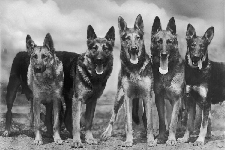 Traditional German Shepherd Dogs