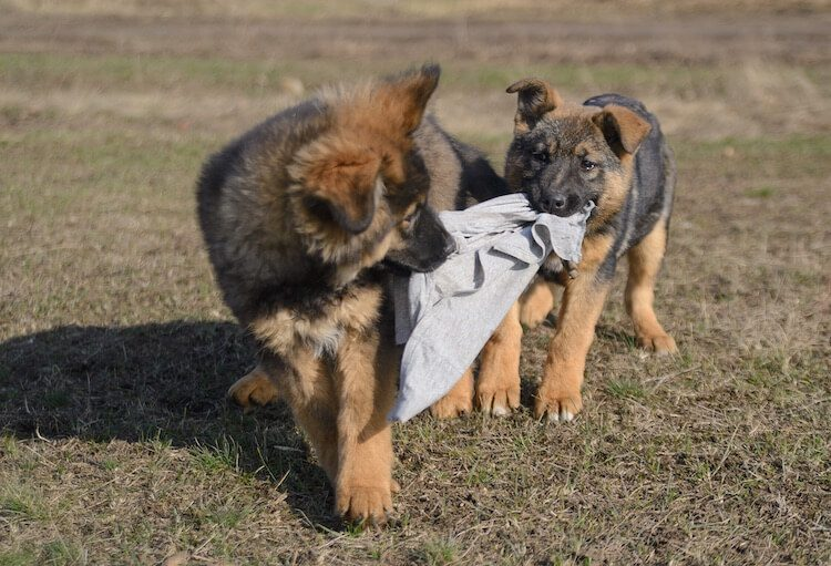 Two Sable German Shepherd Puppies