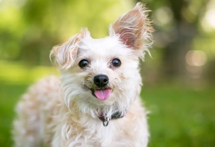 Yorkipoo Dog