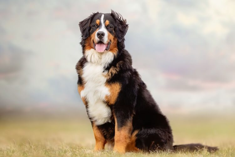 Appearance Of A Bernese Mountain Dog
