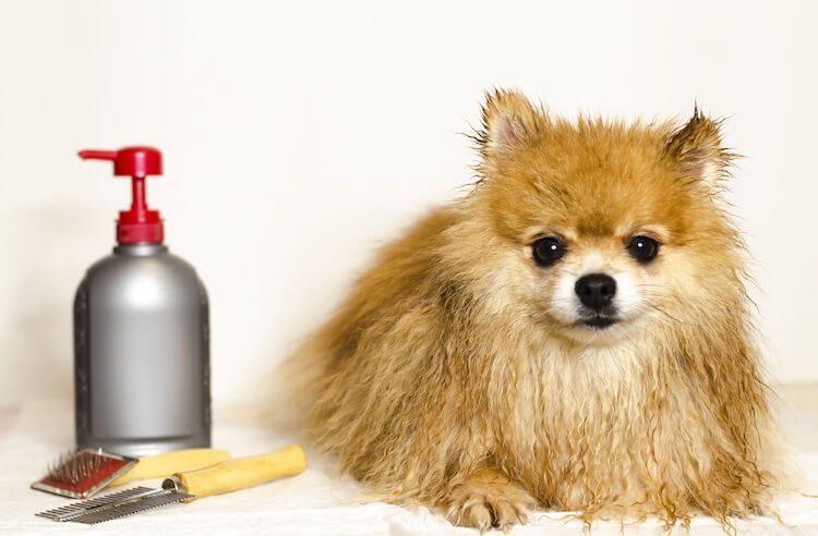 Bathing A Spitz Dog