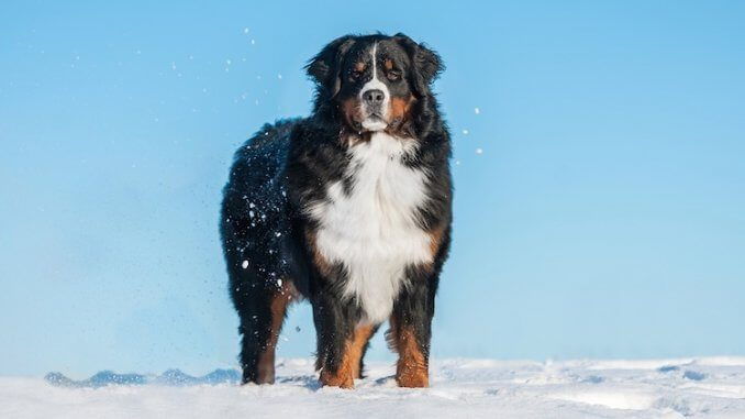 Bernese Mountain Dog Feature