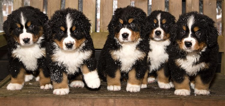 The Complete Bernese Mountain Dog Breed Information Guide