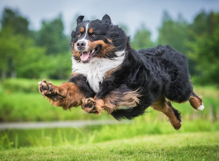 Bernese Mountain Dog Running