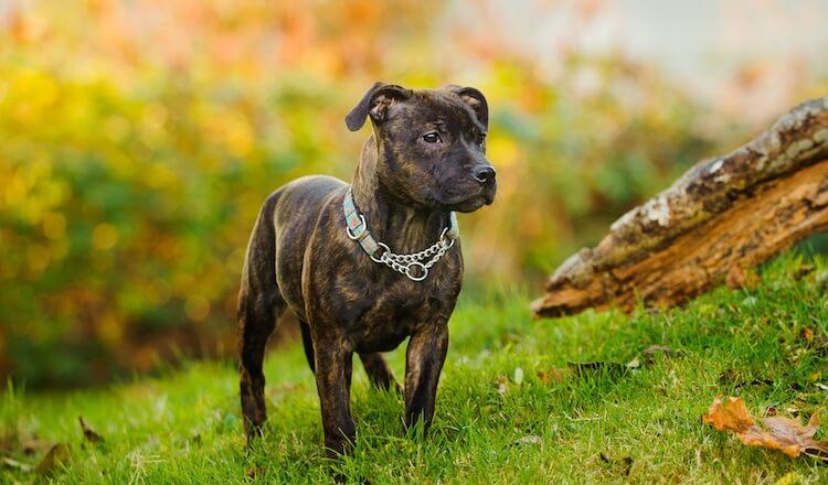 Brindle Staffordshire Bull Terrier Dog