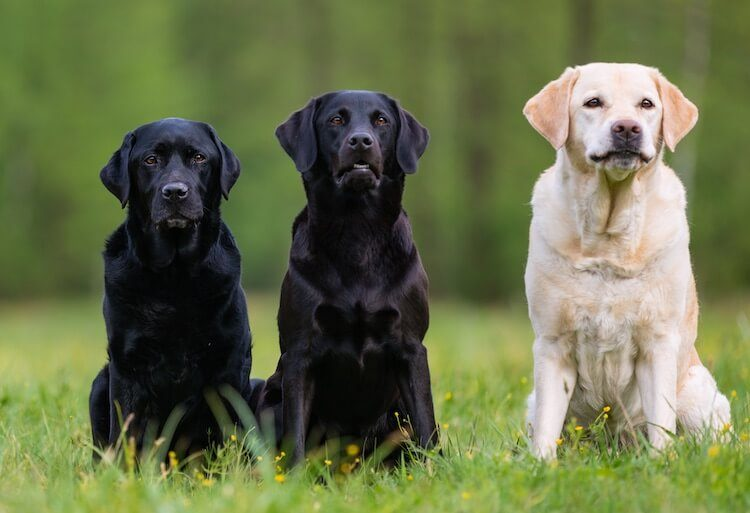 Cool Labrador Names
