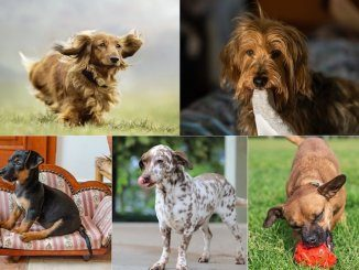 Dachshund Mix Feature