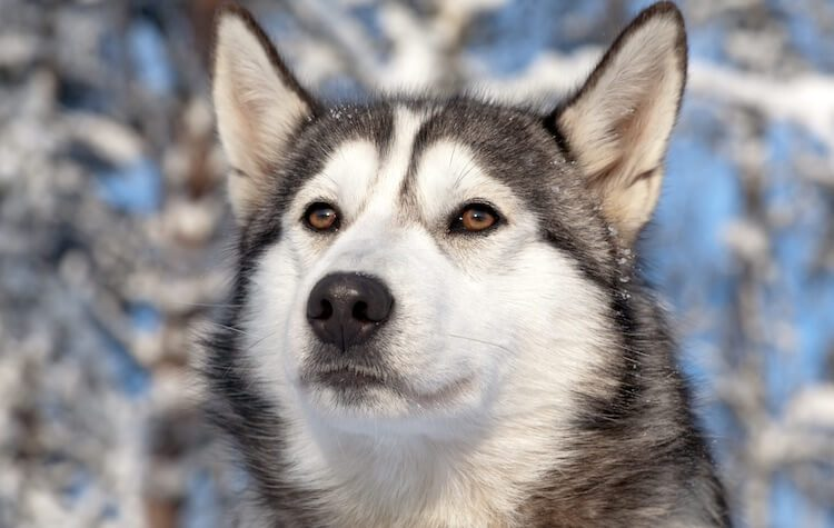 Northern Inuit Dog Portrait