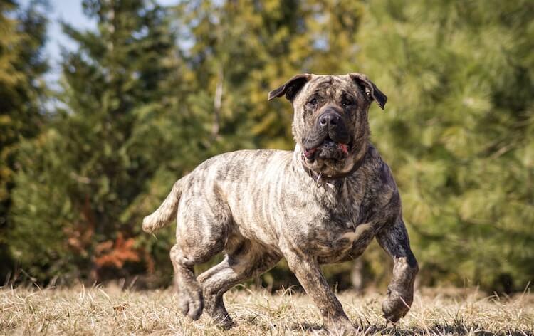 Presa Dog Running
