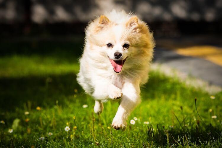 Spitz Dog Running