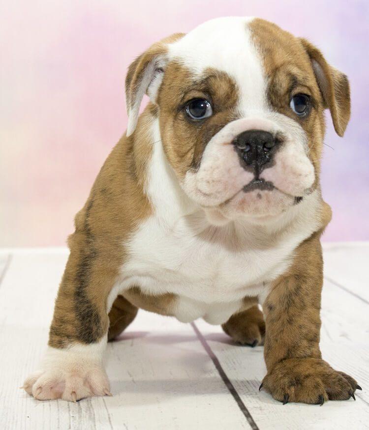 Victorian Bulldog Appearance