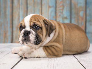Victorian Bulldog Feature