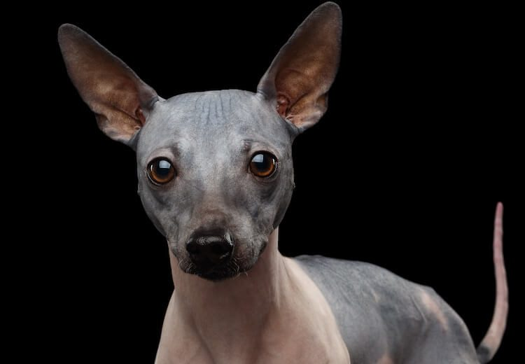 American Hairless Portrait