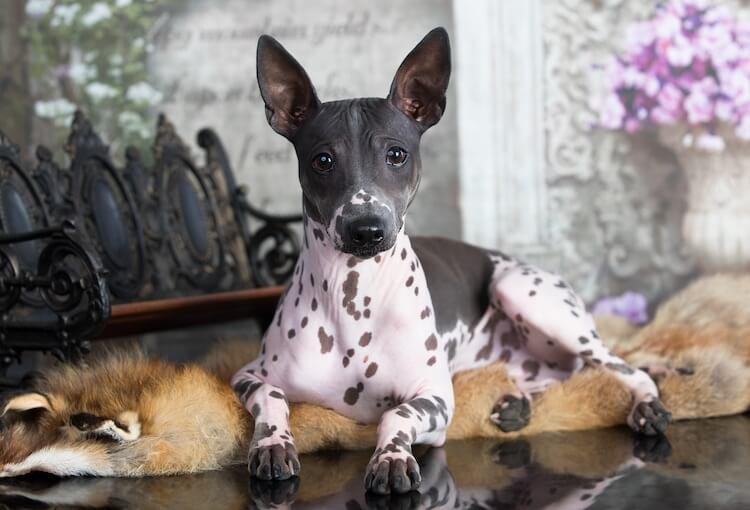 American Terrier Portrait