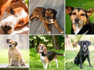 Beagle Mix Feature