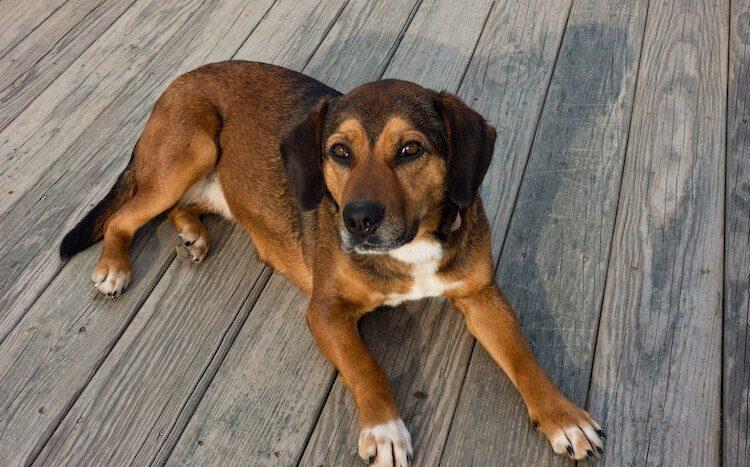 Beagle Shep