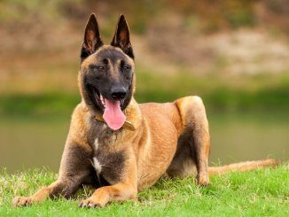 Belgian Malinois Feature