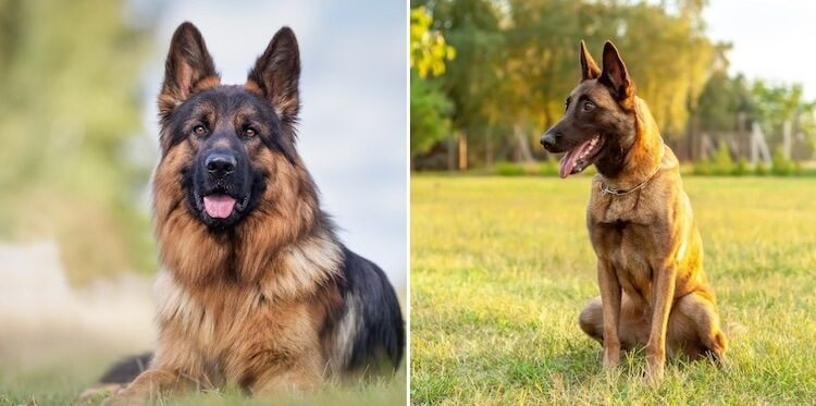 Belgian Malinois vs. German Shepherds