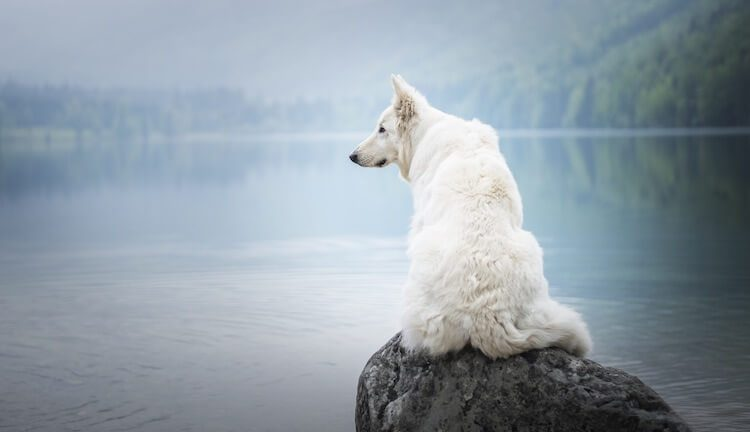 Berger Blanc Suisse Feature