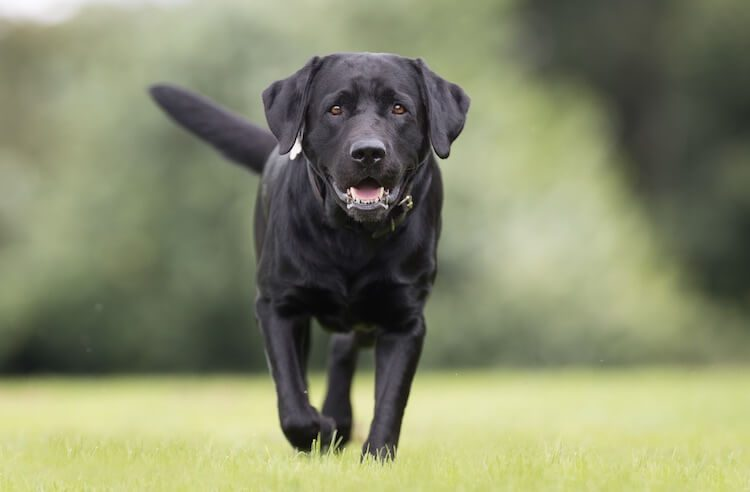 Black English Lab