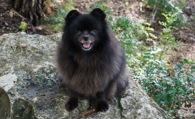 Black Pomeranian Portrait