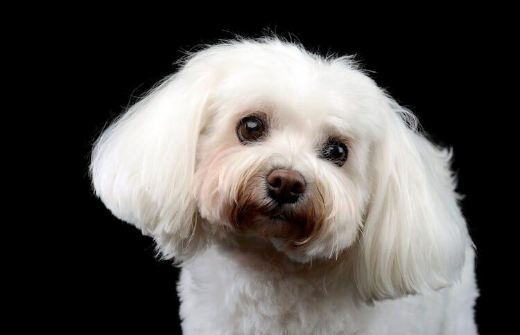 Bolognese Dog Portrait