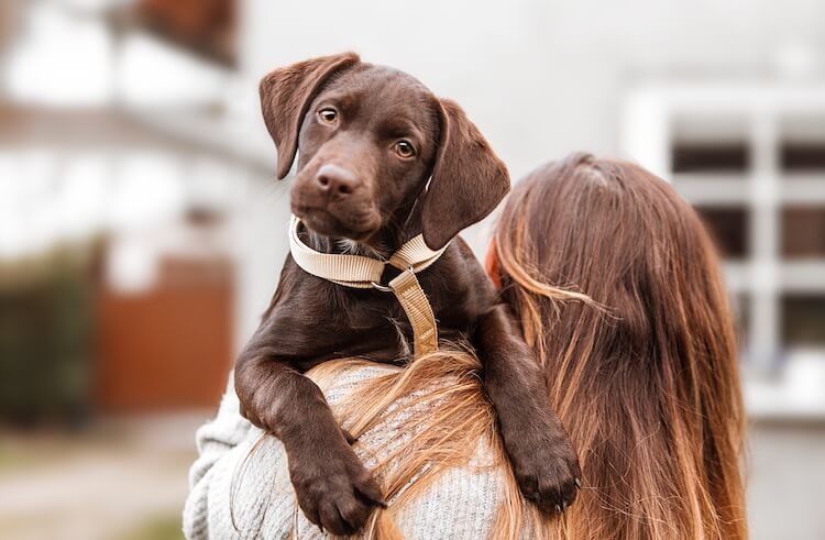 Chocolate English Lab