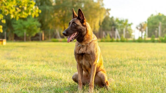 Complete Belgian Malinois Guide 6 Must Read Facts Cover