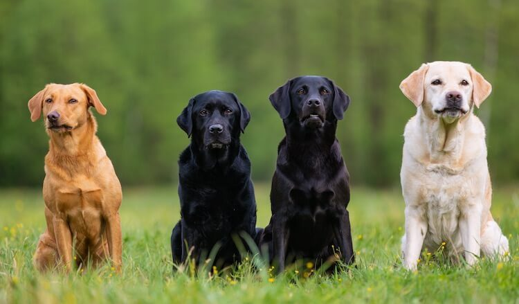 English Labrador Retriever Appearance